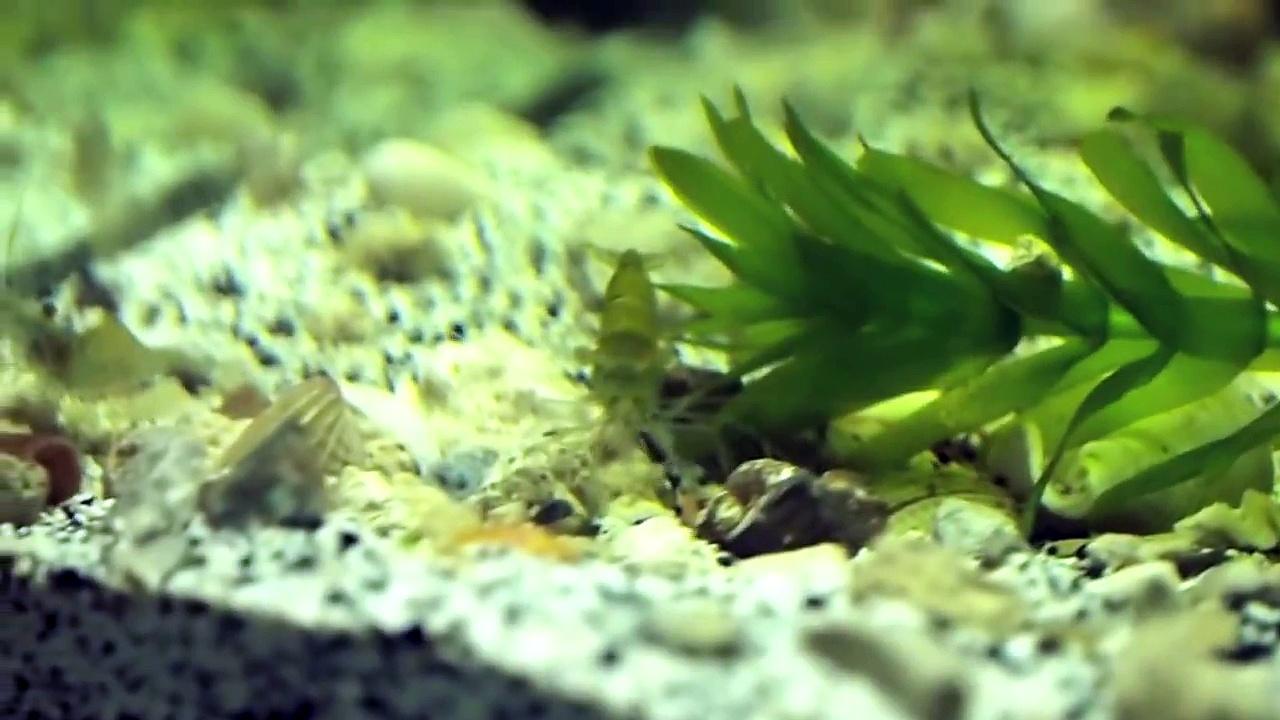 Pea Puffers & Ghost Shrimp