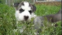 Siberian Husky Welpen Puppies Puppy (345)