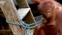 Amazing DIY Orangutans  so smart animal