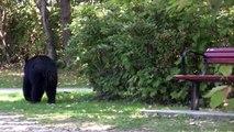 Black Bear sighting at Lafarge Lake, Coquitlam
