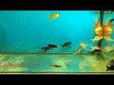 Золотые рыбки. Аквариумные рыбки. Аквариумистика.