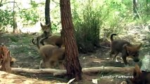 Unique footage of Dingo Pups playing chasey
