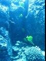 Baby reef fish at Kona Paradise Dive Site