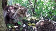 Junge norwegische Waldkatze trifft auf Igel