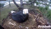 SW Florida Eagles  12-29-13  Eaglets Fussy On A Rainy Day