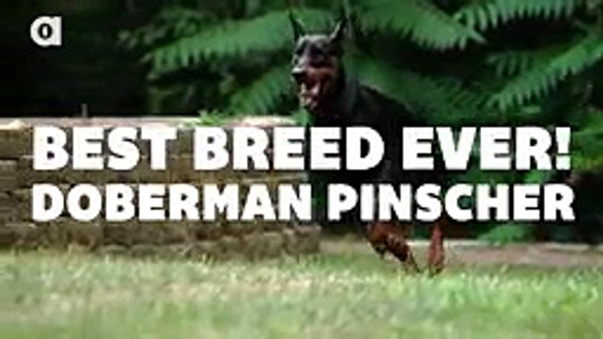 Dobermann Facts - YouTube