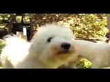 Six Bichon Frises Filmed in HD