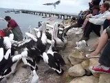 Hilarious pelican feeding eating loads of fish - stuck in throat!