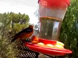 male Hooded Oriole (low res cellphone clip)