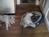 Peter Fox and Daphne Anne, Two Fox Terriers