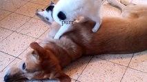 Incroyable... Un chaton fait quelque chose de FOU à un chien !