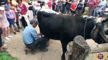 Traite de la Vache à l'Ecomusée de Ungersheim