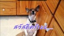 """โทบี สุนัขแจ็ครัสเซลหัดเห่า """"สวัสดีคร้าบ"""" (ขำๆ)"""