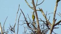 Dzięcioł zielony - Picus viridis