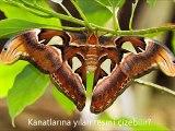 Yılanı korkutan dünyanın en büyük kelebeği: Atlas KelebeğiKendini, narin kanatlarına işlenmiş kobra yılanı resmi ile savunuyor.(http://bit.ly/SubhanAllah)