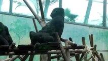 1 Week old Gorilla Baby - Munich Zoo - 1 Woche altes Gorilla Baby Tierpark Hellabrunn