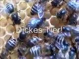 Ana arının işaretlenmesi - ana arının kafese konulması - Ana arının kovana verilmesi