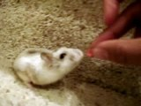 max the vicious hamster