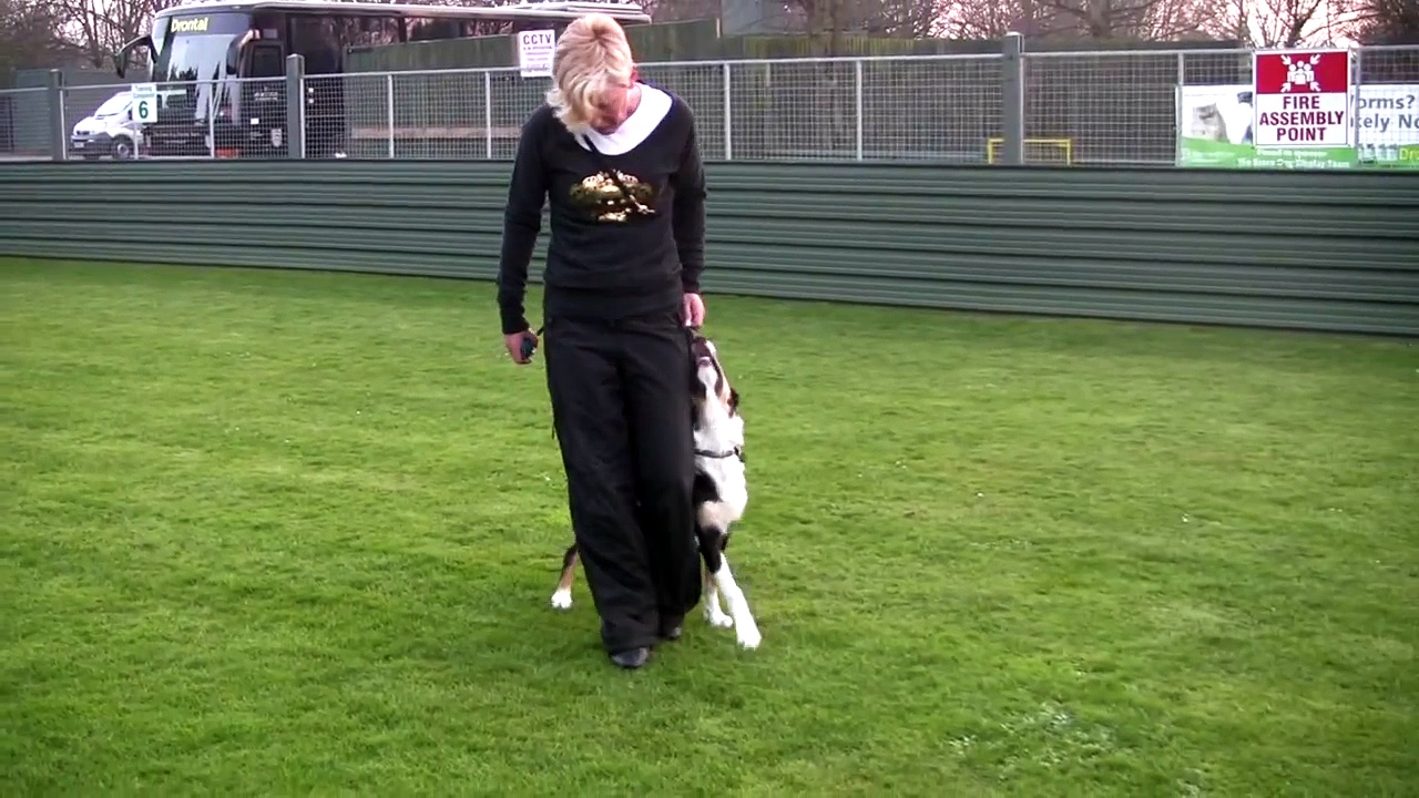 Obedience heelwork puppy training – Smasher Danesway Double Impact