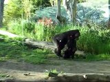 Baby Silverback Gorillas interacting