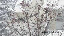 Starlings Return To Spring Snow In Calgary, Alberta