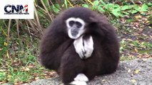 Gibbon Ape PUNKED!!! - Does he want to break out & jump the water?  Is he scared of water?