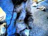 Sheep shearing with Jay Mariacher Shearing Services