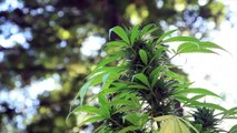 Les jardins de cannabis médical de Jorge Cervantes en Californie (2010) (STFR)