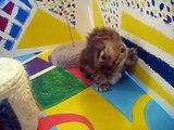 Kismet Kittens: Cute Persian kittens