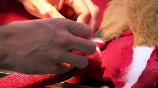 Six-month-old kangaroo joeys treated for bushfire burns