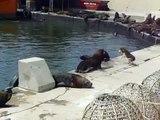 Un perro tira al mar a un lobo marino en el puerto de Mar del Plata
