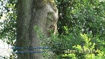 Groene specht (Picus viridis) met jongen