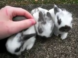 Sweet Pea's Litter ~ 2 Weeks Old ~ Baby Holland Lop Bunnies