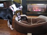 Boston Terriers Nico and Cooper Squeaky Toy