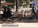 Deer chasing girls at Nara Park, Japan 奈良公園