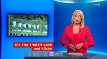 Ziegenhaltung in Oberösterreich - Oberösterreich heute (ORF) - 29.6.2013