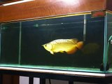 Spoon Head Cross Back Golden Arowana, ikan kelisa emas bukit merah