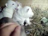 Cute Siberian Husky Puppies Playing