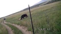 Lion attacks buffalo (Masai Mara, Kenya)