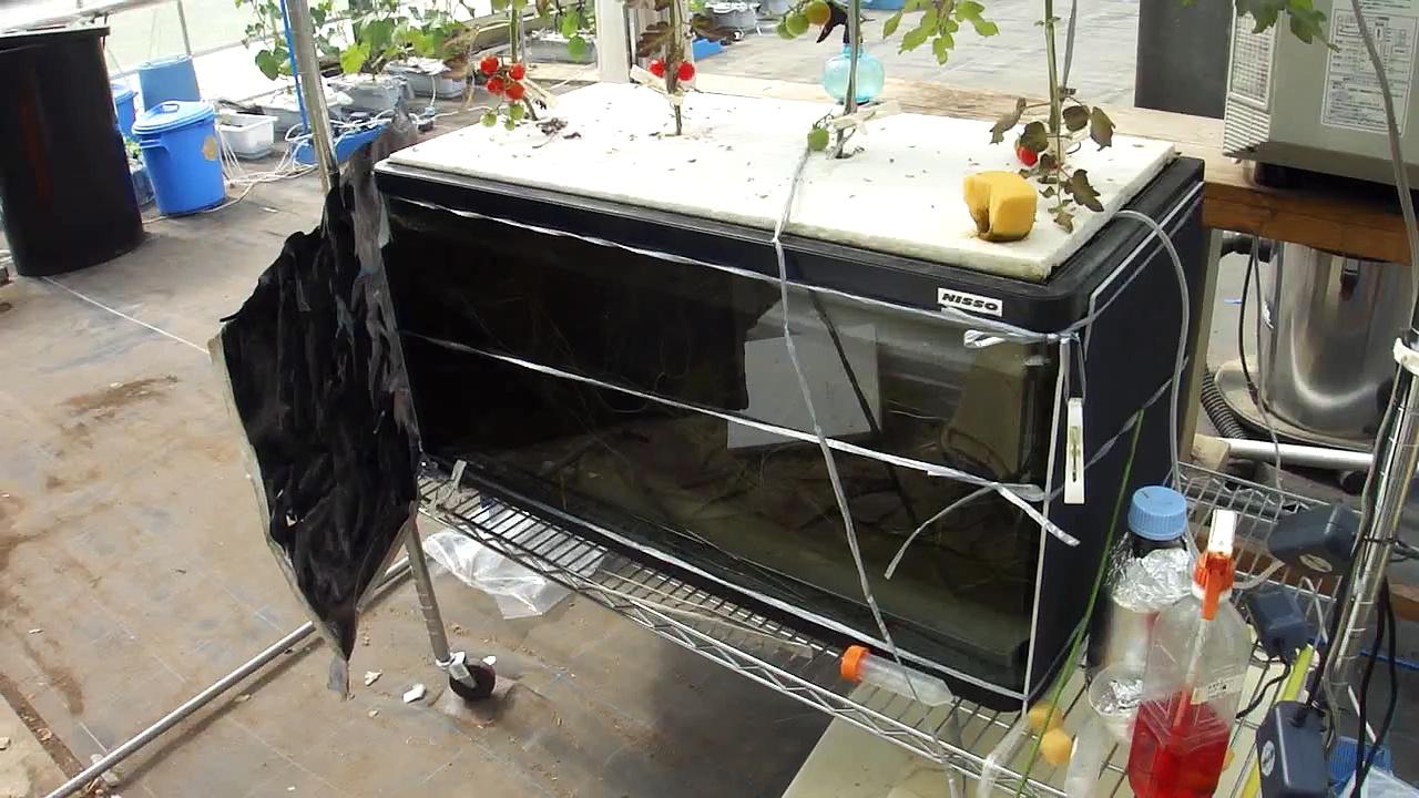 アクアポニックス ウナギとミニトマト Aquaponics of eel and tomato by Organic hycroponics