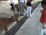 The bowing deer of Nara (Japan)