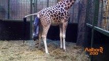 En girafkalv fødes i Aalborg Zoo / Giraffe giving birth at Aalborg Zoo
