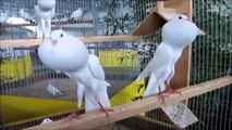 حمام نفاخ - تربية الحمام - حمام زينه - Pigeon - Pouter Pigeons