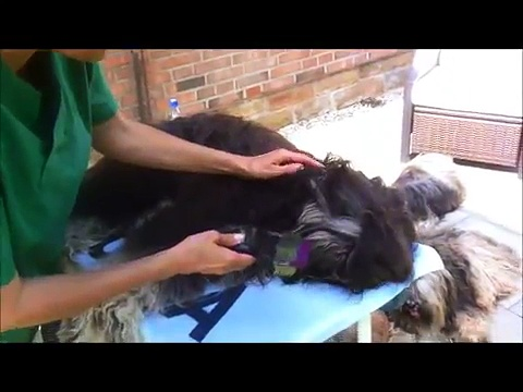 Pflege-Video1  -Tibet Terrier komplett-  (Grooming Tibetan Terrier)