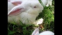 [Conseil Animaux] La reproduction du lapin