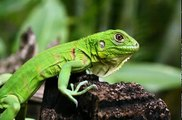 Iguana Facts - Facts About Iguanas