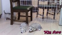 Siberian Husky Puppies Playing,Barking And Sleeping