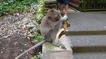 Cute Monkey Peeling and Eating a Banana