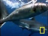 Dünyanın En Yırtıcı Balığı - Büyük Beyaz Köpek Balığı - Balikmarketim