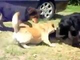 Собаки Растащили Дерущихся Кошек!! Бойцовые Коты!  Fighting Cats Dogs pilfered! Combat Cats!